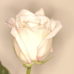 White Rose --- Image by © Royalty-Free/Corbis